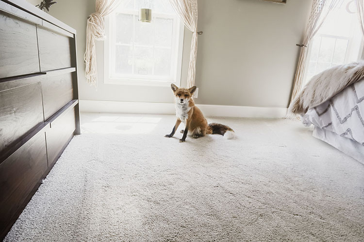Stains, dirt, and spills are no match for PetProof carpet. Check out how easy it is to keep carpet clean and smelling fresh with PetProof carpet!